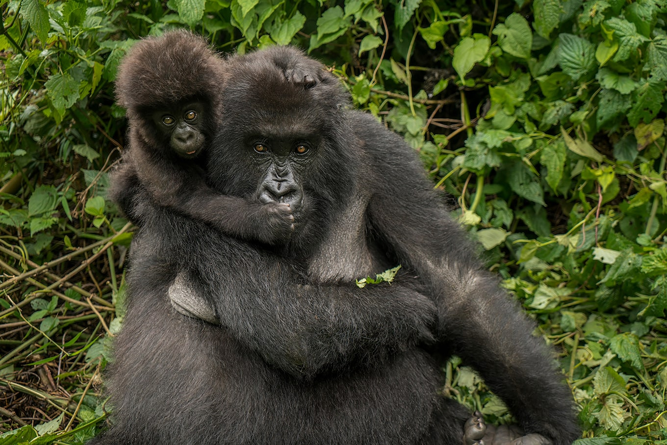 suha-derbent-sony-alpha-7RII-mother-and-baby-gorilla-looking-straight-at-camera