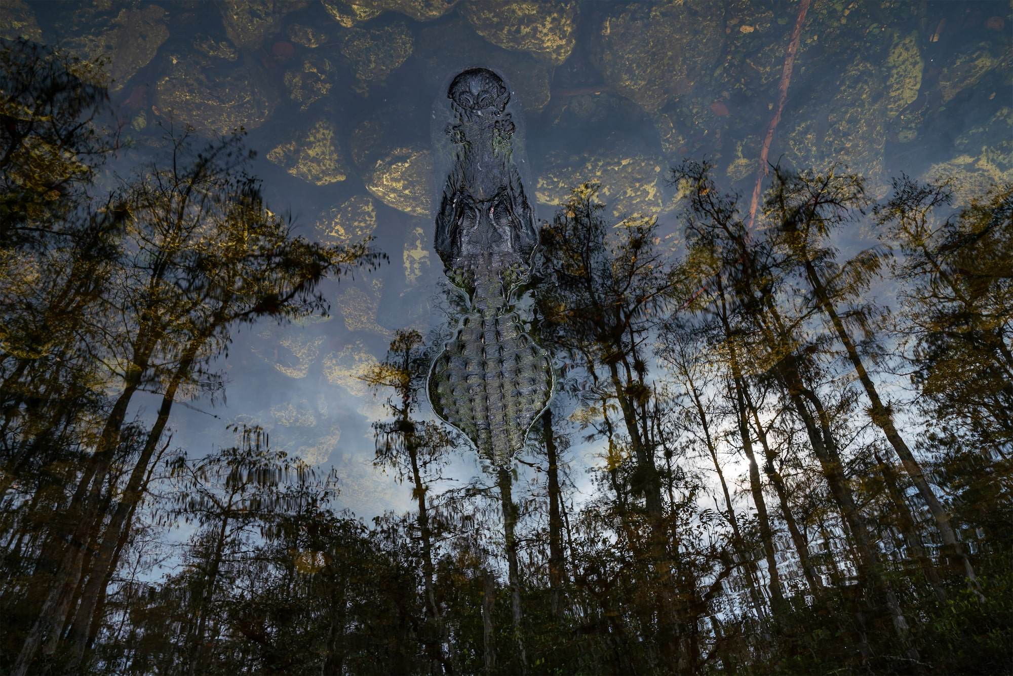 andreas-hemb-sony-alpha-7RM3-reflection-of-trees-in-water-hiding-an-alligator-that-appears-to-be-upside-down
