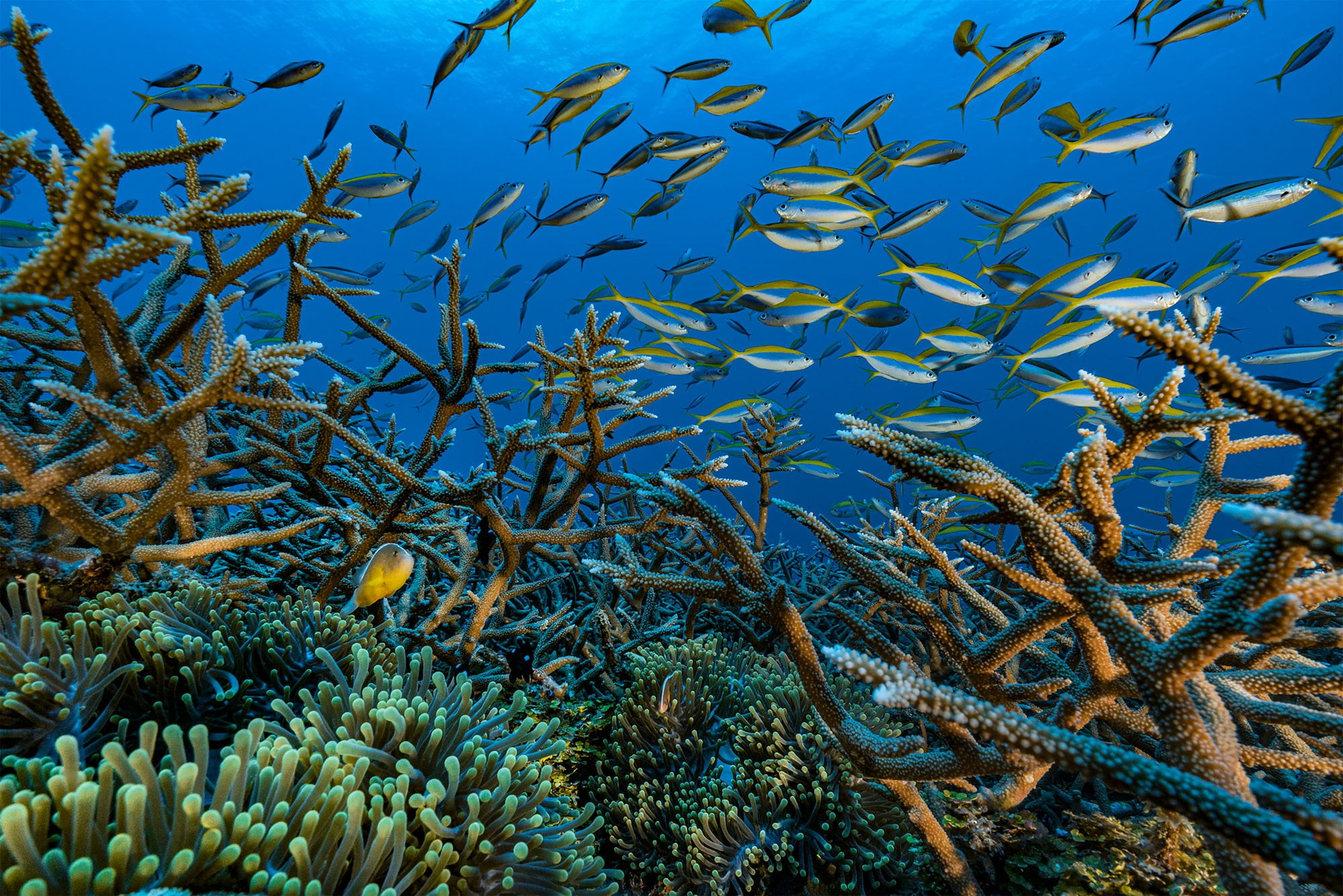 alexis-rosenfeld-sony-A7RM2-a-shoal-of-yellow-and-blue-fish-swimming-through-a-bed-of-coral.jpg