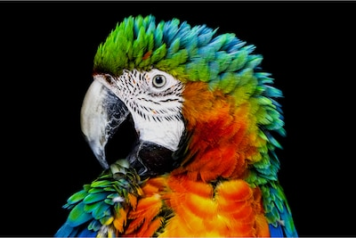Λεπτομέρεια παπαγάλου σε συμβατική OLED