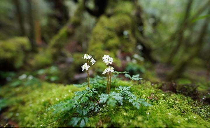 Εικόνα ενός μικρού λουλουδιού σε βράχο στο δάσος, σε εστίαση, με μεγάλη θόλωση μπροστά και πίσω.