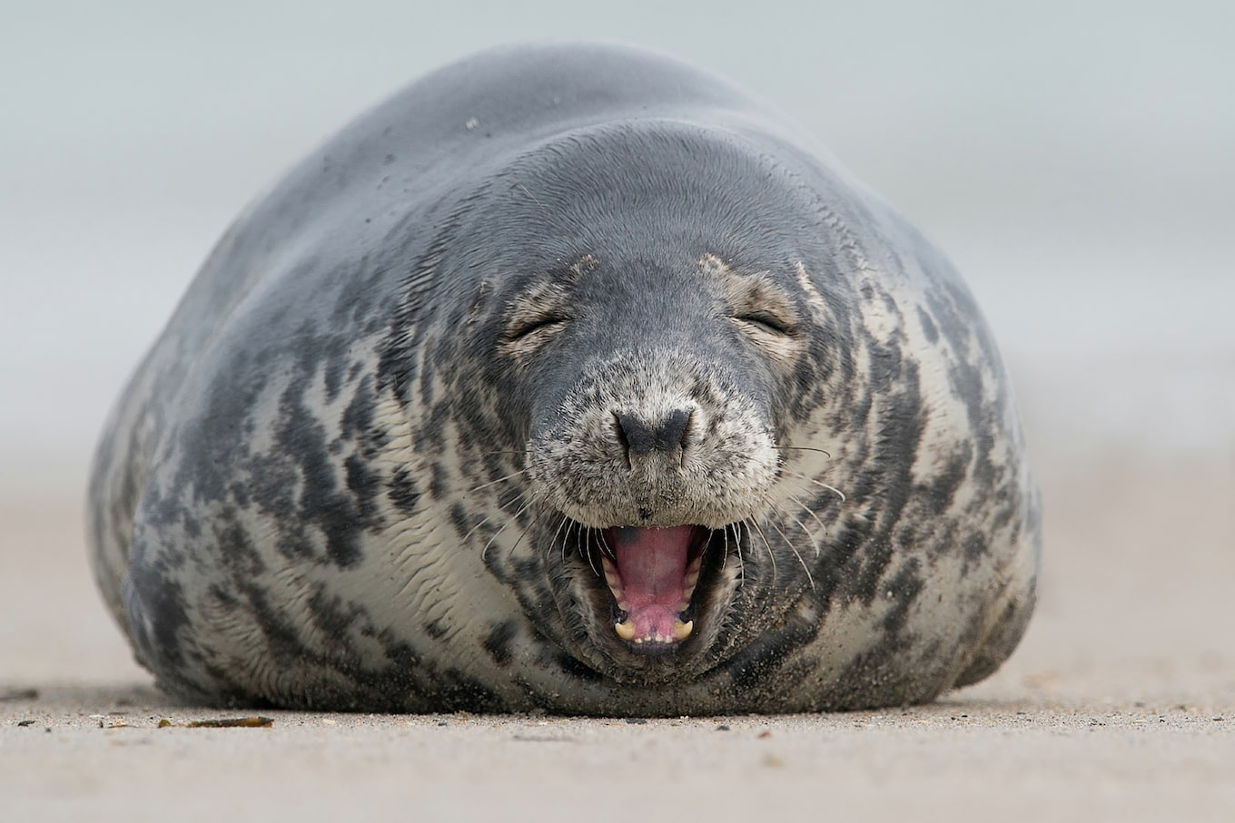 gustav-kiburg-sony-alpha-7RII-portrait-of-a-seal-laughing