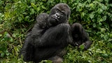 suha-derbent-sony-alpha-7RII-baby-gorilla-relaxing-as-mother-looks-on